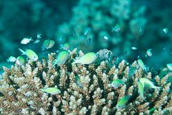 BD-121128-Aqaba-7525-Chromis-viridis-(Cuvier.-1830)-[Blue-green-damselfish].jpg